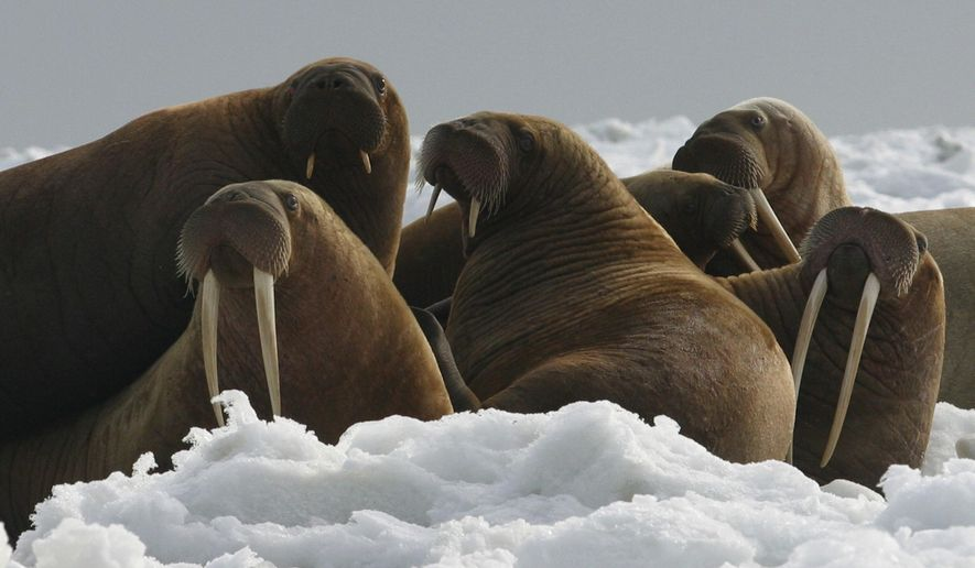This undated photo provided by U.S. Fish and Wildlife shows Walrus cows and yearlings resting on ice in Alaska. An environmental activist wants the U.S. Fish and Wildlife Service to reconsider using anchored rafts in the Chukchi Sea to provide walruses a platform to rest. Diminished sea ice brought on by global warming in recent years has forced walruses to the Russia and Alaska coasts in herds of 35,000 or more. (Joel Garlich-Miller/U.S. Fish and Wildlife via AP)