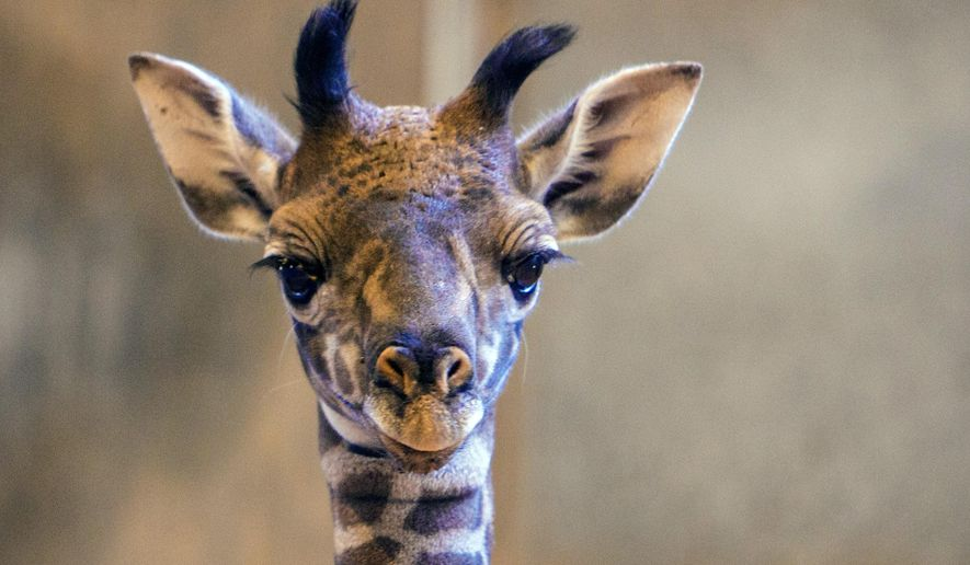 This undated photo provided by the Phoenix Zoo shows an unnamed female baby giraffe seen in her enclosure at the Phoenix Zoo. Officials are celebrating the birth of the baby giraffe that was born Sept. 12, 2017 the first calf of the 4-year-old mother. She will remain with her mother in the giraffe barn for a few weeks until the calf is old enough to be introduced to other animals and go out in an open area of the zoo. It was the zoo's first baby giraffe in 12 years. (Dave Seibert/Phoenix Zoo via AP)