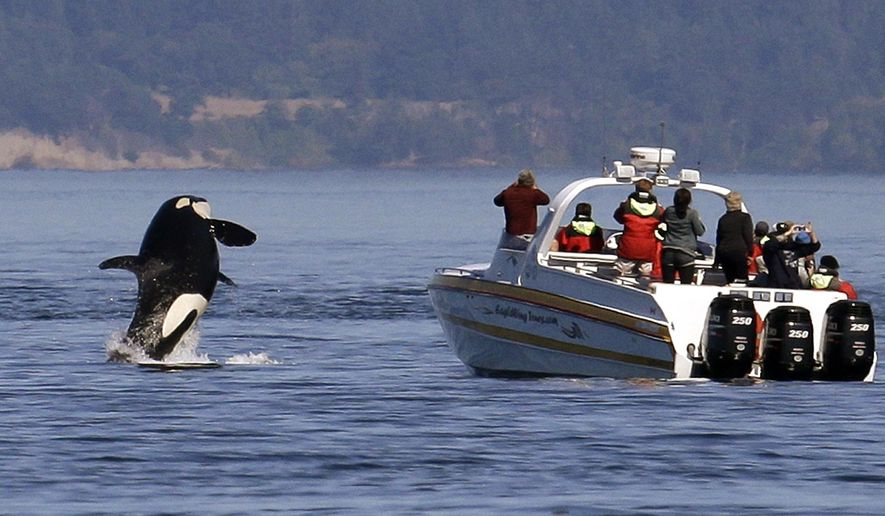 FILE - In this July 31, 2015 file photo, an orca leaps out of the water near a whale watching boat in the Salish Sea in the San Juan Islands, Wash. Ships passing the narrow busy channel off Washington's San Juan Islands are slowing down this summer as part of an experiment to protect the small endangered population of southern resident killer whales. Vessel noise can interfere with the killer whales' ability to hunt, navigate and communicate with each other, so US researchers are looking into what impact the project will have on the orcas. (AP Photo/Elaine Thompson, File)