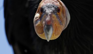 In this Wednesday, June 21, 2017 photo, a California condor sits in the Ventana Wilderness east of Big Sur, Calif. Three decades after being pushed to the brink of extinction, the California condor is staging an impressive comeback, thanks to captive-breeding programs and reduced use of lead ammunition near their feeding grounds. (AP Photo/Marcio Jose Sanchez)
