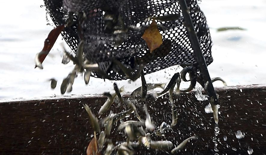 ADVANCE FOR SATURDAY, SEPT. 30 AND THEREAFTER - In a Friday, Sept. 22, 2017 photo, Craig Berberich pulls minnows from one of his traps on a pond near Mankato, Minn. Trappers like Berberich are finding it harder to supply bait shops with minnows as invasive species infest more lakes and minnow water have disappeared or been transformed into rearing ponds. (Pat Christman/The Free Press via AP)