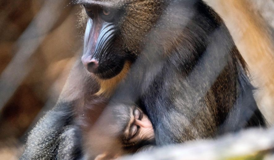 A baby mandrill monkey sleeps it's mother's lap in their enclosure at the Los Angeles Zoo on Tuesday, Sept. 26, 2017. The zoo is welcoming two mandrill babies to the troop, the largest of the monkey species and one of the most colorful. A female baby was born on Aug. 3, 2017 to five-year-old mother, Juliette and a male baby was born on Aug. 17, 2017 to four-year-old mother, Clementine. The first-time mothers came to the L.A. Zoo from Parc Zoologique de La Palmyr in France in April 2016 to be paired with the first-time father, six-year-old Jabari, as part of a Species Survival Program (SSP) to strengthen the gene pool of this vulnerable species. (AP Photo/Richard Vogel)