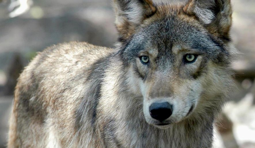 FILE - This July 16, 2004, file photo, shows a gray wolf at the Wildlife Science Center in Forest Lake, Minn. For the first time since 2013, licensed wolf hunting will take place in Wyoming. Wyoming's wolf hunting season opens Sunday, Oct. 1, 2017 and runs through Dec. 31. It is confined to 12 trophy game hunt areas in the northwest part of the state. The Wyoming Game and Fish Department has set a quota of 44 wolves to be taken. (AP Photo/Dawn Villella, File)