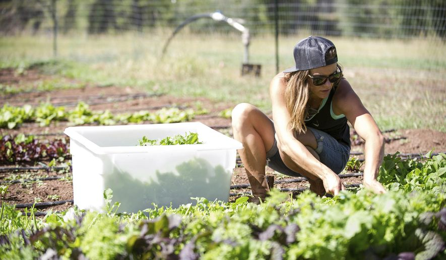 In this Thursday, Sept. 14, 2017, photo, Erin Cuseo, 32, cuts greens on land she works at at the Lazy Glen Open Space to deliver to Meat and Cheese Restaurant in Aspen, Colo. Cuseo founded a young farmers' network. They get together once a month to swap stories, successes and failures and, of course, food.  (Anna Stonehouse/The Aspen Times via AP)