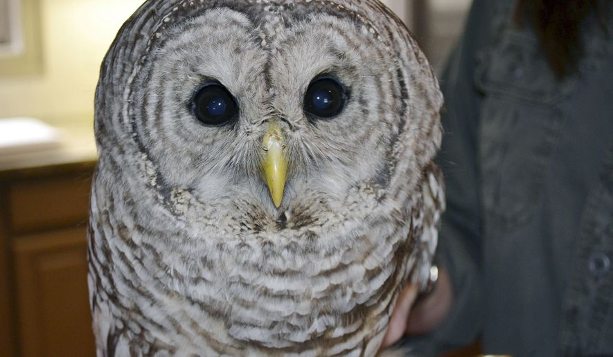 "FILE - In this Wednesday, March 29, 2017 file photo, Jane Kelly, owner of On the Wing, in Epping, N.H., holds a barred owl that is recovering there after being hit by a truck and becoming lodged between the cab and the cargo hold of a truck traveling from Massachusetts to New Hampshire earlier in the month. Kelly, who helped care for the owl over the last six months, said the raptor, named ""Trucker,"" was released Saturday, Sept. 29, 2017, in Wilmington, Mass., where the mishap originally occurred. (AP Photo/Michael Casey)"