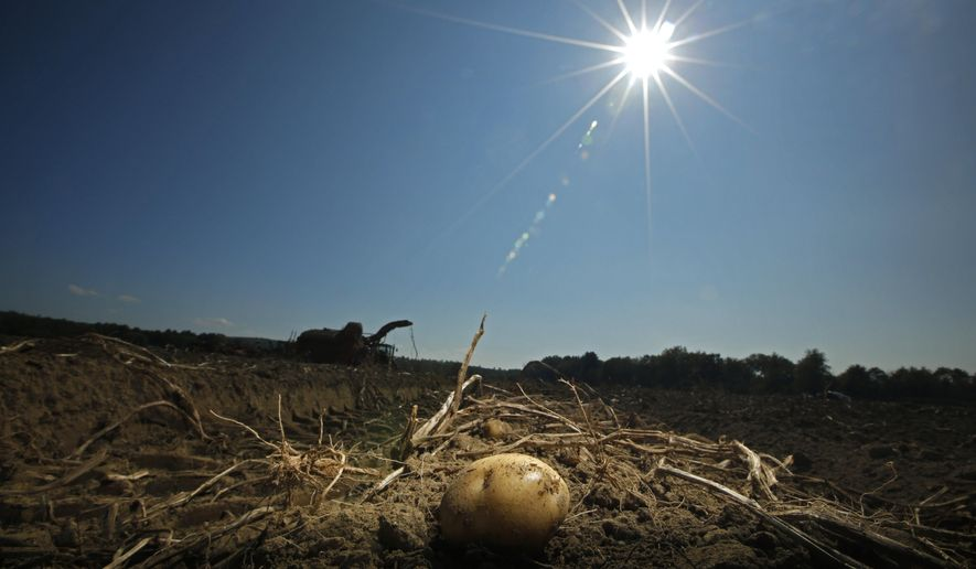 In this Wednesday, Sept. 27, 2017 photo a potato remains in a field after harvesting was temporarily shut down due to unseasonably hot weather at Green Thumb Farms in Fryeburg, Maine. The delayed harvest is the latest setback for farmers after a dry season produced a smaller crop of potatoes. (AP Photo/Robert F. Bukaty)