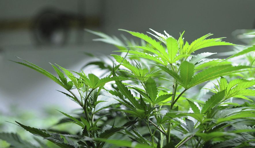 This December 2016 photo shows cannabis plants growing in a cultivation space inside Croy's Enterprises near Soldotna, Alaska. Voters in parts of Alaska will decide in local elections on Tuesday, Oct. 3, 2017, whether to ban commercial cannabis operations, including retail stores and cultivation facilities. (Elizabeth Earl/Peninsula Clarion via AP)