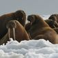 """The Fish and Wildlife Service announced that listing the Pacific walrus and 24 other species under the Endangered Species Act was """"not warranted."""" (Associated Press)"""