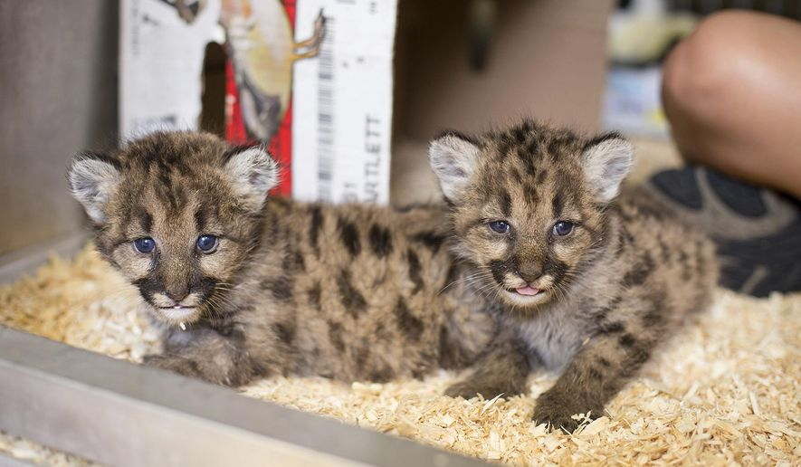 This undated photo provided by the Toledo Zoo shows two cougar cubs at the Toledo Zoo in Toledo, Ohio.  The zoo is caring for three cougar cubs sent to Ohio from Washington state after being orphaned. Zoo officials said Thursday, Oct. 5, 2017 that one of the cubs is 10-12 weeks old. The other two are around 3 weeks old.   ( Toledo Zoo via AP)