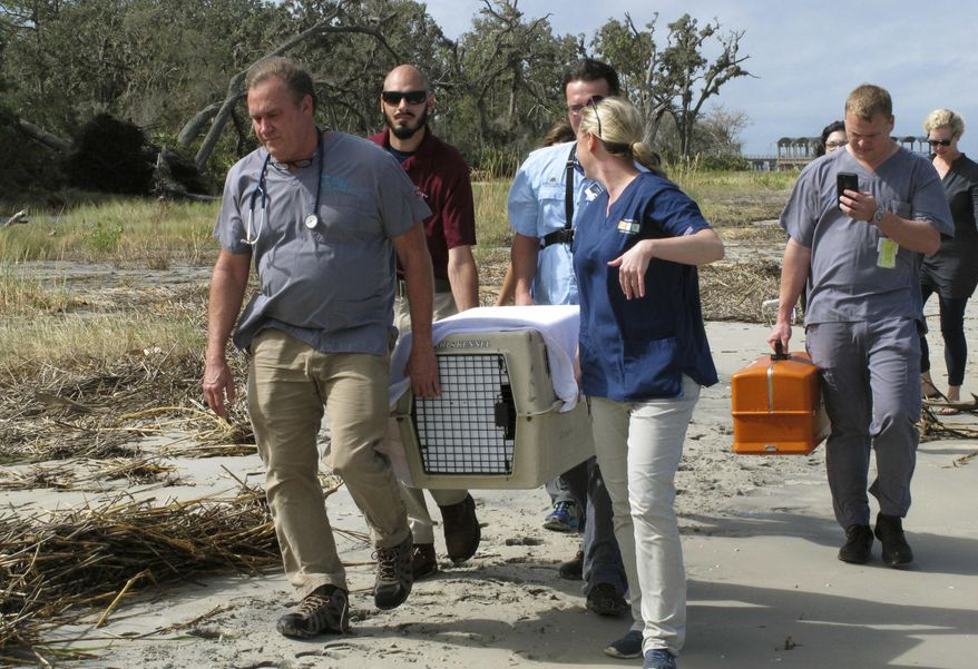 Dr. Terry Norton, left front, Dr. Meredith Persky, right front, and wildlife management staff for the Jekyll Island Authority carry a pet crate containing a bobcat that they returned to the wild Friday, Oct. 6, 2017, on Jekyll Island, Ga. The young bobcat, one of only four known to live at the island state park, was treated at the Jacksonville Zoo in neighboring Florida after hikers on Jekyll Island found the animal paralyzed in late September. The wild cat recovered in a few days. Vets blamed its paralysis on ticks they found covering the bobcat. (AP Photo/Russ Bynum)