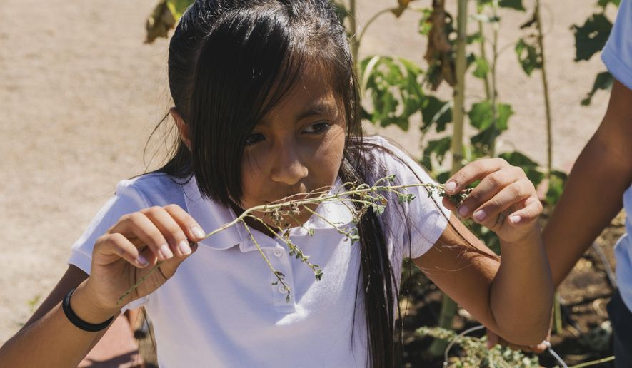In this Sept. 20, 2017, photo, a student smells fresh Oregano pick from an organic garden at McCall Elementary School in North Las Vegas. (Wade Vandervort/Las Vegas Sun via AP)