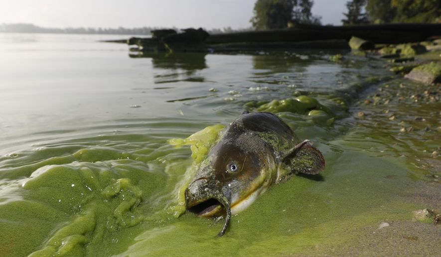 In this Sept. 20, 2017 photo, a catfish appears on the shoreline in the algae-filled waters at the end of 113th Street in the Point Place section of North Toledo, Ohio. The 2017 algae bloom has stretched along the shores of Ohio, Michigan and Ontario, Canada, and will be among the largest in recent years. The 2015 bloom was the largest on record _ covering an area the size of New York City.  (Andy Morrison/The Blade via AP)