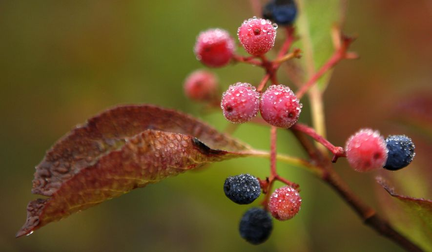 In this Monday, Sept. 18, 2017 photo morning dew covers berries in Bartlett, N.H. Despite forecasts for brilliant foliage throughout the Northeast this year, long-time leaf watchers say the leaves this fall are dull and weeks behind schedule in their turn from green to the brilliant hues of autumn. (AP Photo/Robert F. Bukaty)