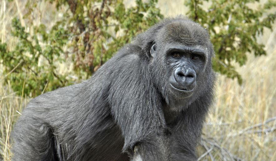 In this undated photo Tumani, a western lowland gorilla, is pictured at Cheyenne Mountain Zoo in Colorado Springs, Colo. The 10-year-old gorilla will be moving to New Orleans' Audubon Zoo, where zookeepers hope she will attract a male. The International Union for Conservation of Nature says a few hundred-thousand western lowland gorillas may exist in the wild, but they're critically endangered because poaching, disease and habitat loss have reduced their numbers more than 80 percent over three generations. (Cheyenne Mountain Zoo via AP)