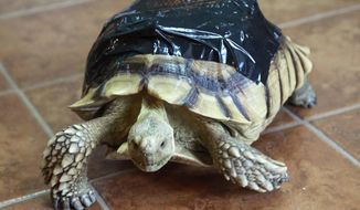 """In this Friday, Sept. 29, 2017 photo, recuperating sulcata tortoise George walks on the floor at the home of Lenard Hughes in Loxahatchee, Fla. George was run over by a car. He is wearing a black bandage over a temporary 3D-printed partial shell. """"He is rehabbing well,"""" said Hughes. (Bruce R. Bennett/Palm Beach Post via AP)"""