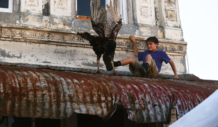 """A young boy attempts to shove a turkey off a downtown tin roof on the Yellville square during the opening day of the 72nd Annual Turkey Trot Festival, Friday, Oct. 13, 2017, in Yellville, Ark. During the first few hours of the festival, a few turkeys were released from downtown buildings with no sightings of the controversial figure known as the """"phantom pilot,"""" who in years past dropped turkeys from a plane. (Josh Dooley/The Baxter Bulletin via AP)"""