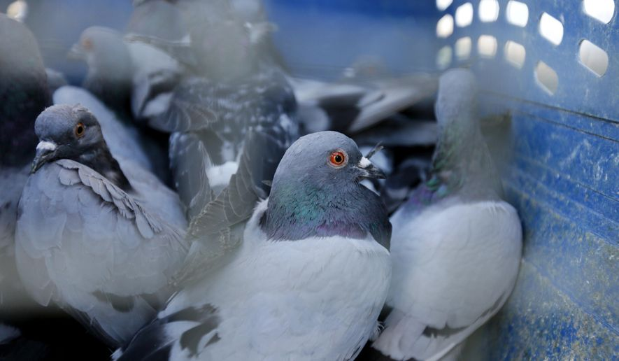 Pigeons sit in a cat kennel near Bryan Cleveland's home in Glendive, Mont. on Sept. 27, 2017. Once captured, the birds are given to hunters and fur trappers in the area. (Bronte Wittpenn/Billings Gazette via AP)
