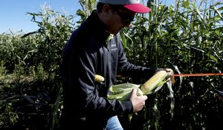 In a Tuesday, Oct. 3, 2017 photo, Kevin Moe, a Syngenta Seed rep, holds an ear of sweet corn at one of the company's test sites near Pasco, Wash. Unlike the corn grown in Iowa, Illinois, South Dakota and Minnesota, Washington corn is a rotation crop _ a useful planting in years the soil needs a break from potatoes or wheat.(Tyler Tjomsland/The Spokesman-Review via AP)