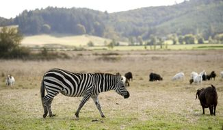 Zinfandel watches over goats on a farm along Airport Road near Lebanon, Ore., Monday Oct. 2, 2014. Zinfandel, a female Grant's zebra, is extremely protective of the goats raised by her owners, Norman and Rosalinda Vizina of Lebanon, Ore. (Amanda Loman/Albany Democrat-Herald via AP)