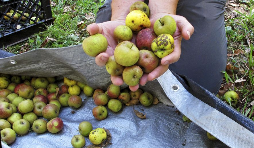 In this Oct. 3, 2017 photo, David Dolginow, co-founder of Shacksbury Cider, picks up wild apples in Rochester, Vt. As the craft cider industry continues its resurgence with not enough commercial cider apples available, some cider makers are foraging for wild apples that have links to the country's early cider making history. (AP Photo/ Lisa Rathke)
