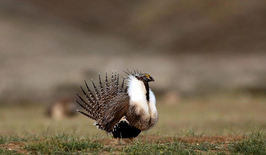 "FILE - In this April 22, 2015 file photo, a male sage grouse struts in the early morning hours outside Baggs, Wyo. Idaho Gov. C.L. ""Butch"" Otter says the state has to be vigilant monitoring the federal government's creation of a new sage grouse conservation plan because of federal employees who worked on the previous plan that caused Otter to file a lawsuit. (Dan Cepeda  /The Casper Star-Tribune via AP, File)"