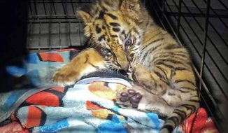 "FILE - This Aug. 23, 2017 file photo provided by the U.S. Customs and Border Protection shows a male tiger cub that was confiscated at the U.S. border crossing at Otay Mesa southeast of downtown San Diego early Wednesday, Oct. 18, 2017. From a baby tiger cub to monitor lizards and a macaw, authorities say they've seized dozens of animals and filed charges against 16 people as part of the largest wildlife trafficking sweep in Southern California. Federal authorities plan to announce details of what they're calling ""Operation Jungle Book"" on Friday, Oct. 20. (U.S. Customs and Border Protection via AP, File)"