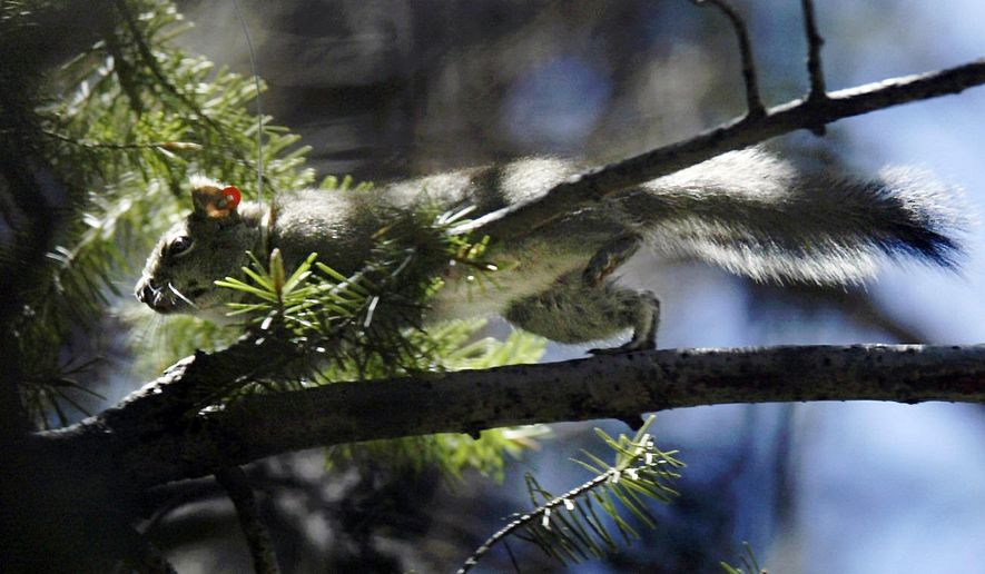 FILE - In this May 24, 2004 file photo, a Mount Graham red squirrel darts through trees on Mount Graham near Safford, Ariz. State officials say the endangered squirrel species' estimated population has apparently plummeted since a major wildfire burned much of its habitat atop a southeastern Arizona mountain last summer. The state Game and Fish Department says an annual multi-agency survey of the Mount Graham red squirrel produced an estimate of only 35 squirrels, which is only 14 percent of the 252 squirrels estimated in 2016. (Kelly Presnell /Arizona Daily Star via AP, File)