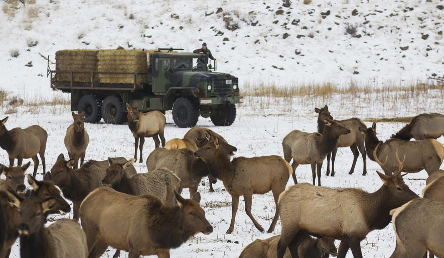 In a Friday, Dec 23, 2016 photo, Nick Steveson, a natural resources worker for the Washington Department of Fish and Game, surveys hundreds of elk from a truck before dropping hay during a feeding at Oak Creek Wildlife Area near Naches, Wash. The WDFG is preparing to feed large numbers of elk with the anticipation of a heavy winter.  (Shawn Gust/Yakima Herald-Republic via AP)