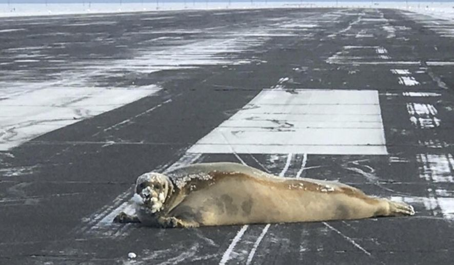 This Oct. 23, 2017, photo provided by Scott Babcock shows a seal that wound up on the runway at the airport in Utiqiagvik, Alaska. A sled was brought in to remove the seal in the community formerly known as Barrow, Alaska. (Scott Babcock via AP)