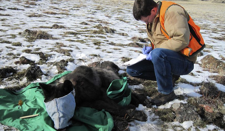 FILE - In this Feb. 25, 2015 file photo provided by the Oregon Department of Fish and Wildlife, an ODFW biologist is in the process of collaring wolf OR-33, a 2-year-old adult male from the Imnaha pack, in Oregon's Wallowa County. The U.S. Fish and Wildlife Service and five conservation groups are teaming up to offer $15,500 for information about the illegal poaching of federally protected gray wolf OR-33, who was found dead near Klamath Falls on April 23. (Oregon Department of Fish and Wildlife via AP, file)