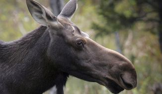 FILE- in this photo taken on Aug. 21, 2010, a moose stands in a clearing in Franconia, N.H. New Hampshire wrapped up the 2017 moose hunting season with a success rate lower than the previous year, partly due to unseasonable warm weather at the start of the hunt. (AP Photo/Jim Cole, File)