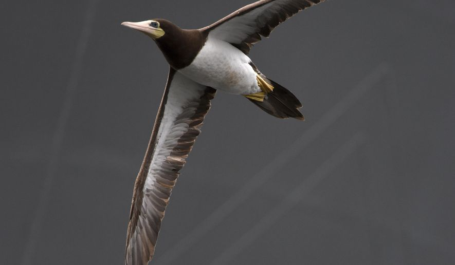 FILE - In this Sept. 22, 2015, file photo, a brown booby flies between the ships Denebola and Antares in Baltimore's Inner Harbor. Brown boobies are nesting for the first time in California's Channel Islands National Park, announced Tuesday, Nov. 7, 2017. (Jerry Jackson/The Baltimore Sun via AP, File)