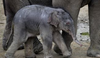 The one-day-old male Asian elephant baby, yet unnamed, leans against her mother, Angele in the Budapest Zoo in Budapest, Hungary, Thursday, Nov. 9, 2017. (AP Photo/MTI, Attila Kovacs)