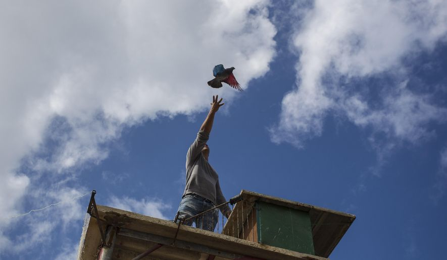 In this Saturday, Nov. 4, 2017 photo, pigeon breeder Eduardo Montufar lets loose his pigeon named The Mexican, whose wings were dyed red and blue, from his home's roof in Havana, Cuba. Contesting breeders release their birds to see who can out-fly and out-maneuver their rivals and win over females. (AP Photo/Desmond Boylan)