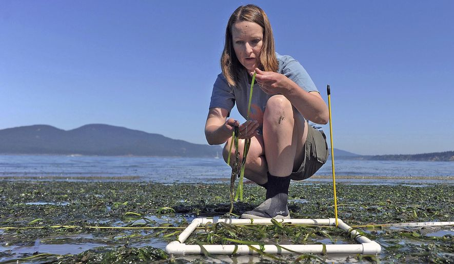 In this Tuesday, July 25, 2017 photo, Cornell University masters student Morgan Eisenlord takes samples of eelgrass from the beach during low tide east of the Washington State ferry terminal in Anacortes, Wash. She is conducting studies of eelgrass wasting in Puget Sound. (Scott Terrell/Skagit Valley Herald via AP)