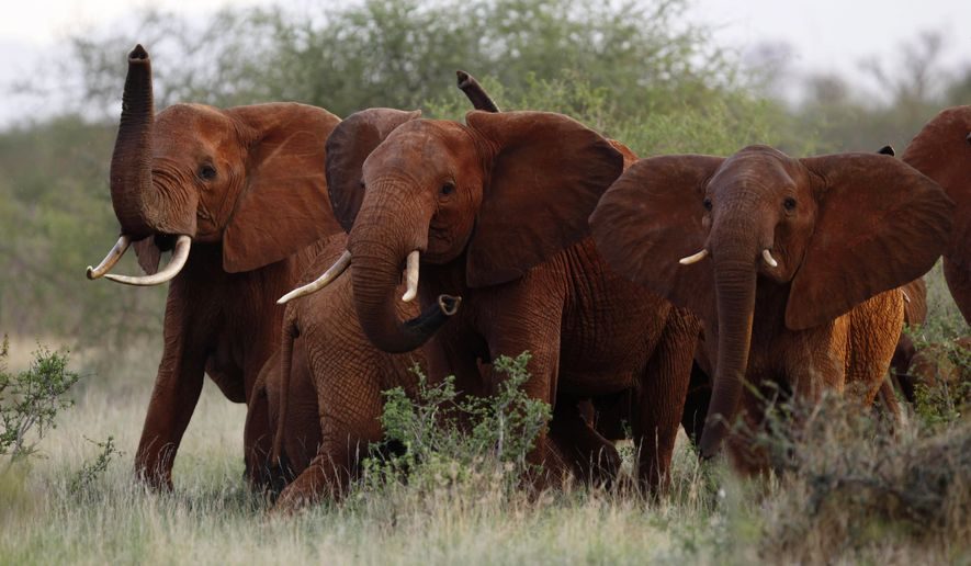 In this file photo taken Tuesday, March 9, 2010, elephants use their trunks to smell for possible danger in the Tsavo East national park, Kenya. The Trump administration is lifting a federal ban on the importation of body parts from African elephants shot for sport.  (AP Photo/Karel Prinsloo, File)