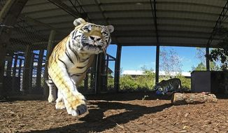 In this Tuesday, Nov. 7, 2017 photo, Angel, a large Siberian Tiger who was the only female in a litter of three is on the prowl at The Central Florida Animal Reserve located in Osceola County, Fla. Angel's brother Gabriel, background, begins to eat his meal which consists of a variety of meats. CFAR will soon open its gates to booked tours in Osceola County.  (Red Huber/Orlando Sentinel via AP)