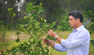 In this Nov. 8, 2017 photo, Steve Crisafulli examines a tree in a USDA test grove on North Merritt Island, Fla. The grove has four or five varieties of citrus trees with 10 different root stocks to see how they do. The citrus industry has been hit hard by canker, greening and the weather. (Malcolm Denemark/Florida Today via AP)