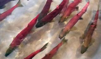 FILE - In this Tuesday, Sept. 26, 2017, file photo provided by Idaho Fish and Game, Snake River sockeye salmon that returned from the Pacific Ocean to Idaho over the summer swim in a holding tank at the Eagle Fish Hatchery in southwestern Idaho. Fisheries biologists in Idaho say they think they know why a relatively new $13.5 million hatchery intended to save Snake River sockeye salmon from extinction is instead killing thousands of fish before they ever get to the ocean. (Dan Baker/Idaho Fish and Game via AP, File)