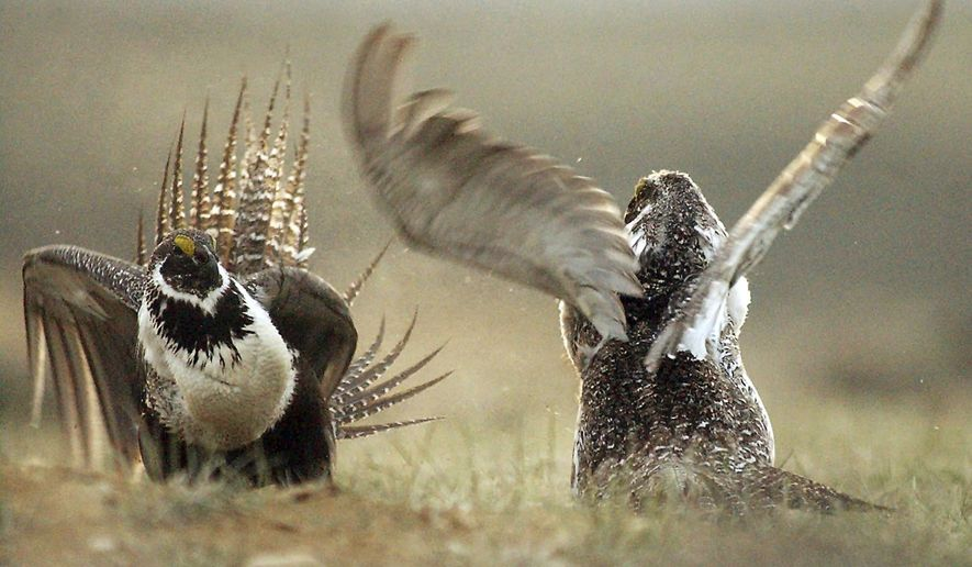 FILE - In this May 9, 2008, file photo, male sage grouses fight for the attention of a female southwest of Rawlins, Wyo. The U.S. Forest Service is rethinking sage grouse protection plans in six Western states after a federal court agreed with mining companies that the agency illegally created some protections in Nevada. (Jerret Raffety/Rawlins Daily Times via AP, File)