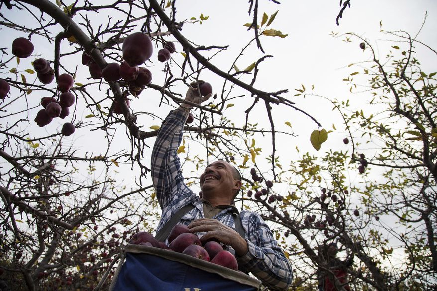 This Nov. 14, 2017 photo shows Narciso Cruz picking Red Delicious apples in an orchard in Tieton, Wash. Over the past several years, farmers have complained of labor shortages stressing the state's multi-billion fruit industry. According to studies in recent years, a reverse flow immigration and an improving economy in Mexico is creating more competition for foreign-born labor in the U.S. (Shawn Gust/Yakima Herald-Republic/via AP)