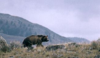 FILE-- This undated file photo provided by the National Park Service shows a grizzly bear walking along a ridge in Montana. The National Rifle Association and Safari Club International, a sport hunting group, are asking a judge to make sure their members can hunt grizzly bears in the three-state Yellowstone region. The animals have lost federal protections but conservation groups have sued to restore them. (National Park Service via AP, File)