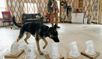 Liesel, a German Shepherd, looks for a scent hidden in one of five tubes while his owner Chris Williams watches on Nov. 6, 2017, near Clinton, Montana. Williams is the owner of Run Your Pack, a business that helps train dogs for everything from obedience and rehabilitation to highly specific skills like avalanche rescue. (Tom Bauer /The Missoulian via AP)