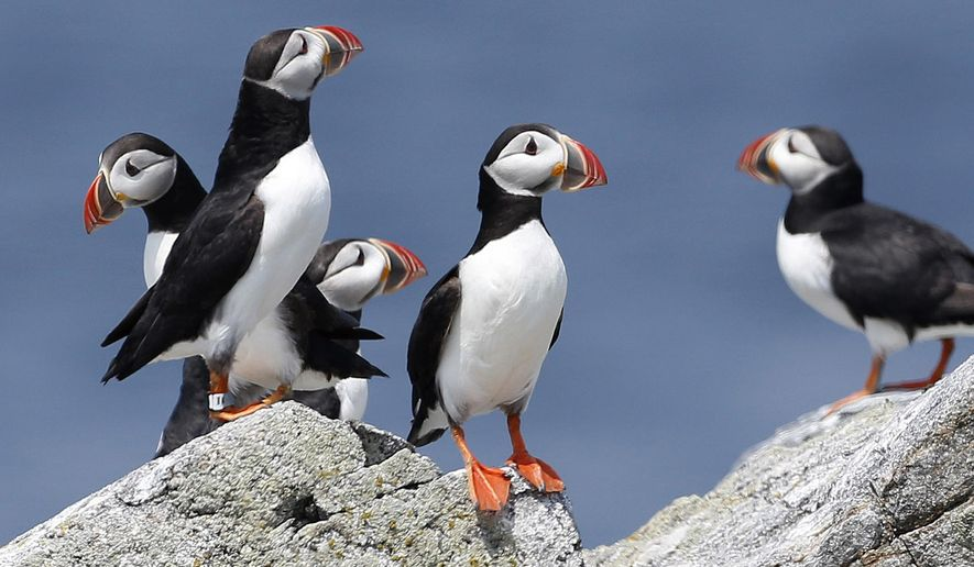FILE - In this Aug. 1, 2014, file photo, Atlantic puffins congregate near their burrows on Eastern Egg Rock, a small island off the coast of Maine. The Audubon Society said 2017 was a great year for puffin reproduction. It's a rare bit of good news for the birds who have struggled in recent years due to changes in food availability. (AP Photo/Robert F. Bukaty, File)