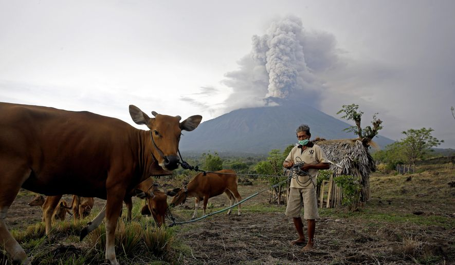 A villager takes his cows to a field with Mount Agung volcano erupting in the background in Karangasem, Bali, Indonesia, Tuesday, Nov. 28, 2017. Indonesia's disaster mitigation agency says the airport on the tourist island of Bali is closed for a second day due to the threat from volcanic ash. (AP Photo/Firdia Lisnawati)