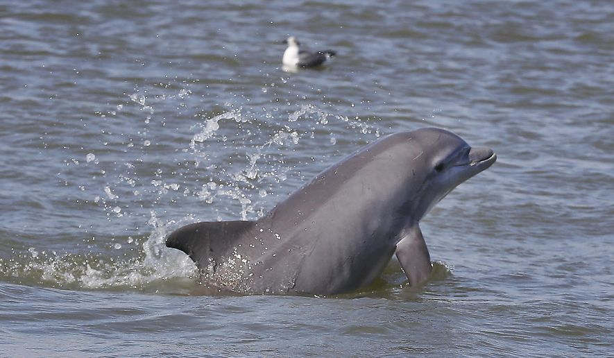 ADVANCE FOR USE SUNDAY, DEC. 3 - In this Wednesday, Nov. 15, 2017 photo, a dolphin leaps from Galveston Bay in Seabrook, Texas. After Hurricane Harvey, Galveston Bay dolphins turned up malnourished and covered with skin lesions, which researchers believe is related to the inundation of freshwater into the bay. Some studies show that these skin conditions can be the result of pollution, much of which dumped into the bay during and after Harvey. (Steve Gonzales/Houston Chronicle via AP)