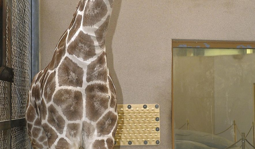 This Nov. 24, 2013 photo provided by the Maryland Zoo in Baltimore shows Juma. The 5-year-old female giraffe died from an undetermined illness, according to a Wednesday, Nov. 29, 2017, statement from The Maryland Zoo. (Jeffrey F. Bill/Maryland Zoo in Baltimore via AP)