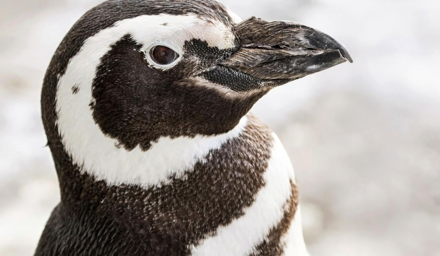 This undated photo provided by the Aquarium of the Pacific shows the Magellanic penguin named Henry who died Monday, Nov. 27, 2017, at the Aquarium of the Pacific in Long Beach, Calif. Officials say the 24-year-old penguin that has lived in the Long Beach aquarium for about five years died from health issues associated with old age. (Robin Riggs/Aquarium of the Pacific via AP)