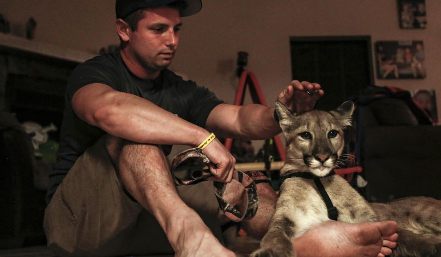 Nala, a juvenile Florida panther from Wild Florida, rests leashed alongside Andrew Biddle inside his home on Nov. 8, 2017. (Aileen Perilla/ Orlando Sentinel via AP)