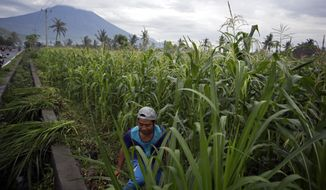 A villager cuts grass to feed his cows with a backdrop of the Mount Agung erupting in Karangasem, Bali, Indonesia, Saturday, Dec. 2, 2017. Authorities have told tens of thousands of people to leave an area extending 10 kilometers (6 miles) from the volcano as it belches volcanic materials into the air. Mount Agung's last major eruption in 1963 killed about 1,100 people. (AP Photo/Firdia Lisnawati)